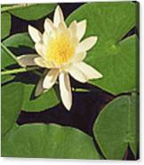 Water Lily I V Canvas Print