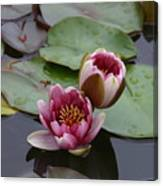 Water Lily With Bee Canvas Print