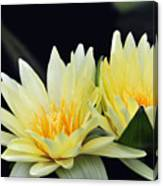 Water Lily Yellow Nymphaea Canvas Print