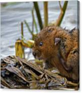 Water Vole Cleaning Canvas Print