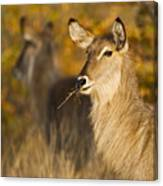 Waterbuck Mirror Canvas Print