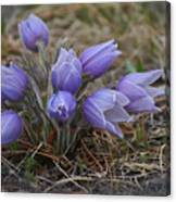Watercolor Pasque Flowers Canvas Print