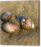 Watercolored Seashells Canvas Print