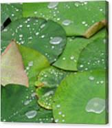 Waterdrops On Lotus Leaves Canvas Print
