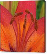 Watered Lily Canvas Print
