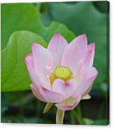 Waterlily Blossom With Seed Pod Canvas Print