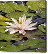 Waterlily On The Water Canvas Print