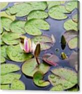 Watter Lily Canvas Print