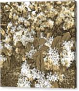 Waxleaf Privet Blooms On A Sunny Day In Sepia Tones Canvas Print