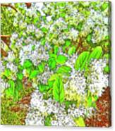 Waxleaf Privet Blooms On A Sunny Day Canvas Print