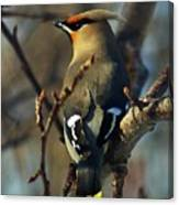Waxwing On Guard Canvas Print