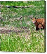 We Are 3 Red Fox Puppies Canvas Print