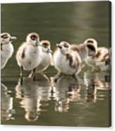 We Are Family - Seven Egytean Goslings In A Row Canvas Print