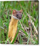 Weasel Canvas Print
