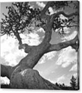 Weather Beaten Pine Tree And Sun - Monochrome Canvas Print