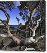 Weather Beaten Pine Tree At The Coast Canvas Print