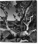 Weather Beaten Pine Tree At The Coast - Monochrome Canvas Print