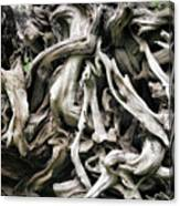 Weathered Roots - Sitka Spruce Tree Hoh Rain Forest Olympic National Park Wa Canvas Print