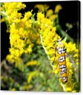 Webworm Moth Canvas Print