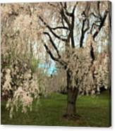 Weeping Asian Cherry Canvas Print