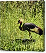 West African Crowned Crane Canvas Print
