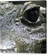 West African Dwarf Crocodile - Captive 04 Canvas Print