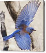 Western Bluebird 2 Canvas Print