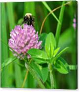 Western Honey Bee On Clover Flower Canvas Print