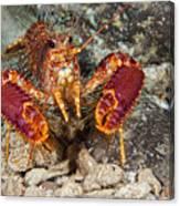 Western Lobster Canvas Print