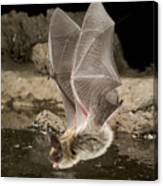 Western Long-eared Myotis Drinking Canvas Print