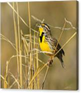 Western Meadowlark Calling For Mate Canvas Print