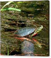 Western Painted Turtle Canvas Print