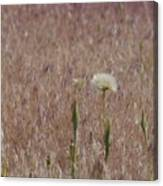 Western Salsify Seed Head Canvas Print