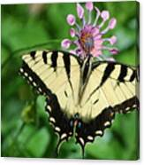 Western Tiger Swallowtail Canvas Print
