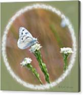 Western White Butterfly Canvas Print