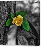 Western Yellow Rose Two Tone Canvas Print