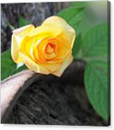 Western Yellow Rose Vi Canvas Print