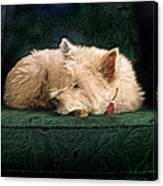 Westie Nap Canvas Print