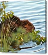 Wet Beaver Canvas Print