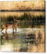 Wet Bob Cat  Canvas Print