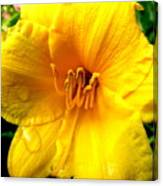 Wet Daylily Canvas Print