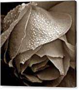 Wet Rose In Sepia Canvas Print