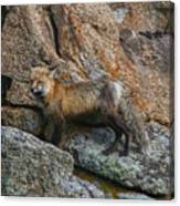 Wet Vixen On The Rocks Canvas Print