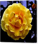 Wet Yellow Rose  Canvas Print