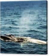 Whale Watching Balenottera Comune 5 Canvas Print