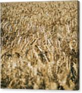Wheat In The Wind Canvas Print