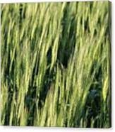 Wheat Canvas Print