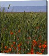 Wheat With Poppy  Canvas Print