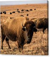 Where The Buffalo Roam Canvas Print