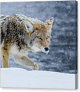 Where The Coyote Walks Canvas Print